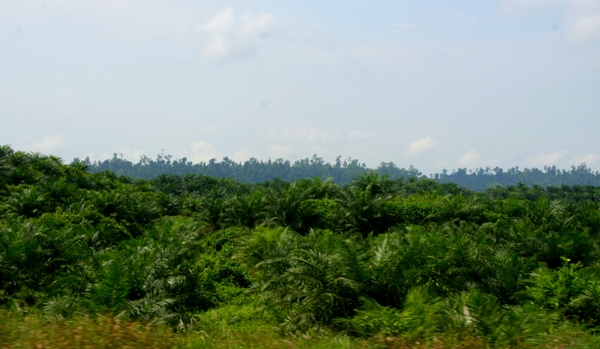 Palm oil plantation with forest behind it in Sabah, Malaysia
