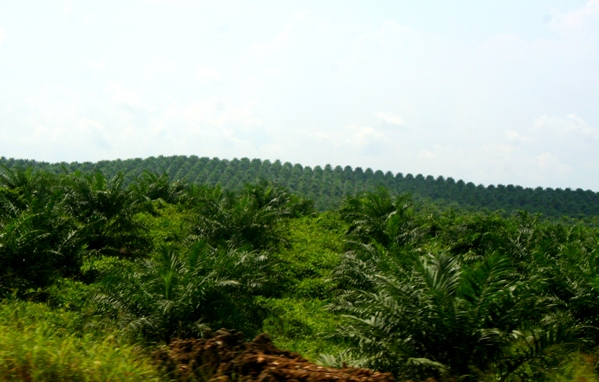 Palm oil plantation in Sabah, Malaysia