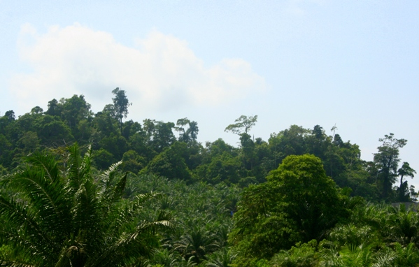 Palm oil plantation with forest on a highland behind it
