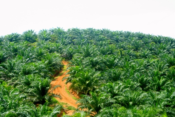 Close up view of a palm oil plantation in Sabah, Malaysia. Such plantations lack the biological diversity of natural forests. Photo credit:  Jeremy Hance.