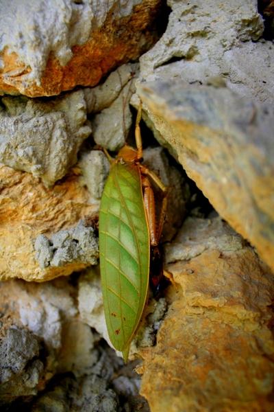 Dead unidentified katydid in Sabah, Malaysia