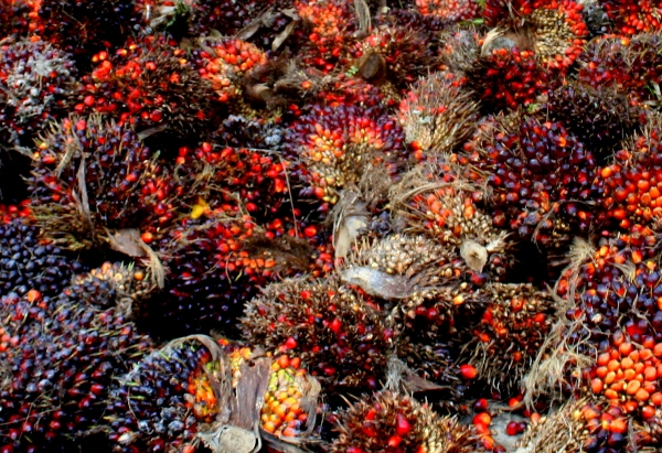 Oil palm fruits in Sabah, Malaysia