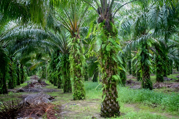 Inside an palm oil plantation in Sabah, Malaysia