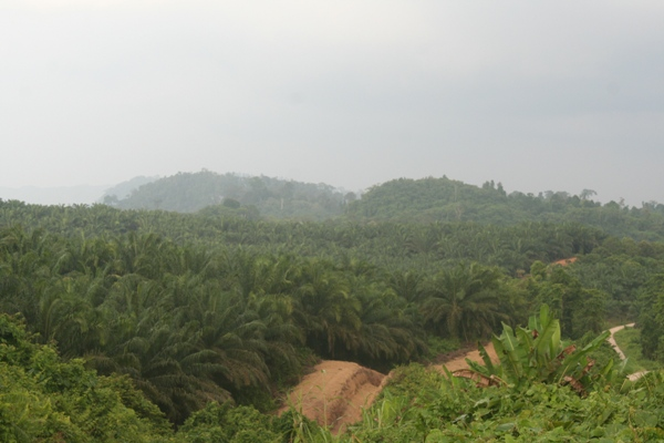 Palm oil plantation bordered by ditches to keep out elephants in Sabah, Malaysia, though sometimes elephants become stuck