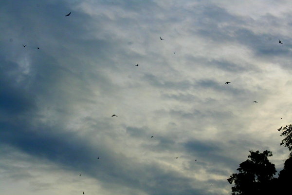 Swifts (unidentified) in Sabah, Malaysia