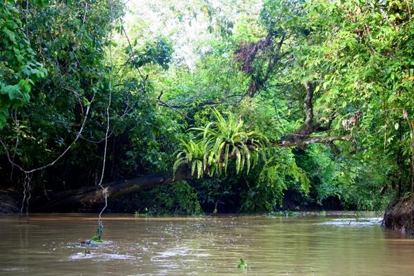 Large ferns above the Kinabantagan River in Sabah, Malaysia