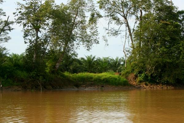 Palm oil plantation on the banks of the Kinabantagan River in Sabah, Malaysia
