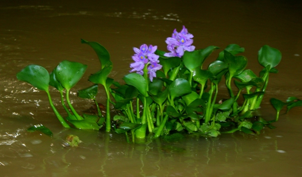 Beautiful, but invasive, floating plant on the Kinabantagan River in Sabah, Malaysia