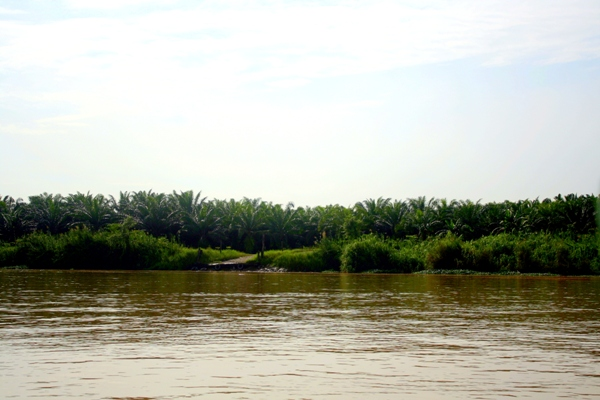Palm oil plantation on the banks of the Kinabantagan River in Sabah, Malaysia