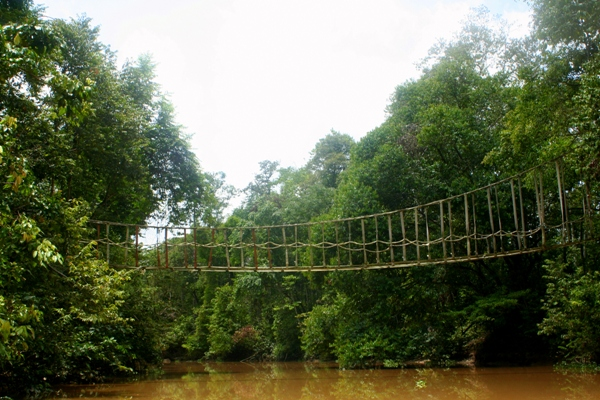 Orangutan bridge over the Kinabantagan River to connect fragmented populations in Sabah, Malaysia