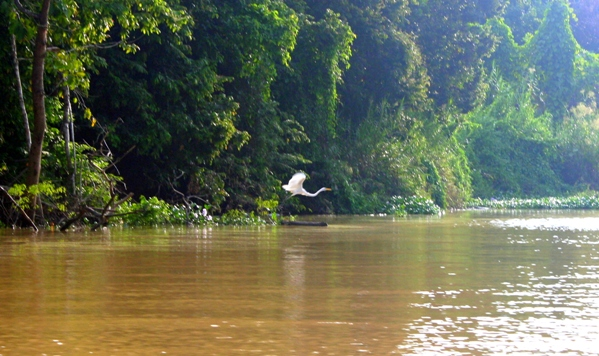 Egret (unidentified) flying over the Kinabantagan River in Sabah Malaysia