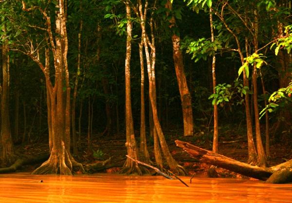 Trees along the Kinabantagan River in Sabah, Malaysia