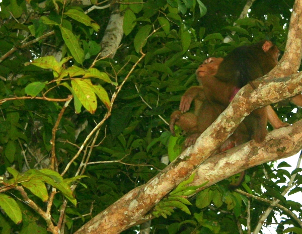 Macaques (unidentified) on the banks of the Kinabantagan River in Sabah, Malaysia