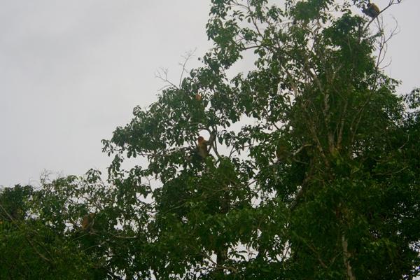 Proboscis monkeys (Nasalis larvatus) on the banks of the Kinabantagan River in Sabah, Malaysia