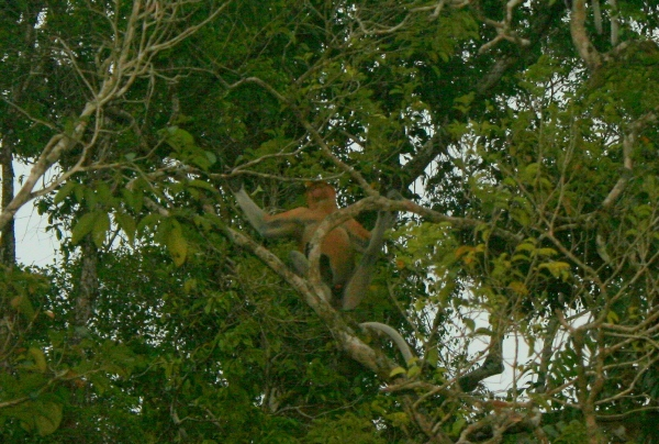 Proboscis monkeys (Nasalis larvatus) on the banks of the Kinabantagan River in Sabah, Malaysia