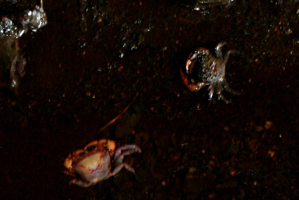 Crabs (unidentified) inside the Gomantong Cave in Sabah, Malaysia