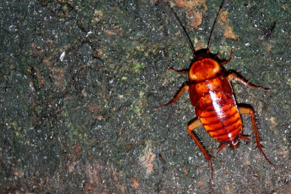 Cockroach in the Gomantong Cave in Sabah, Malaysia
