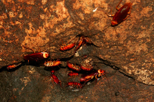 Cockroaches in the Gomantong Cave in Sabah, Malaysia