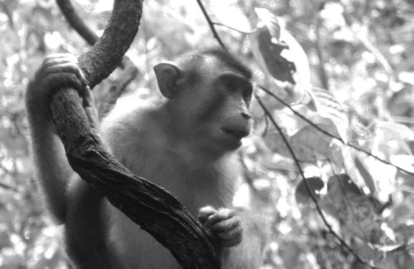 Macaque (unidentified species) in Sabah, Malaysia