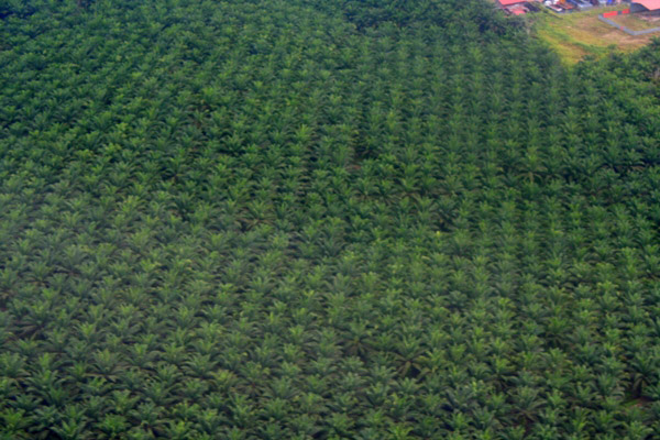Aerial view of palm oil plantation in Sabah, Malaysia