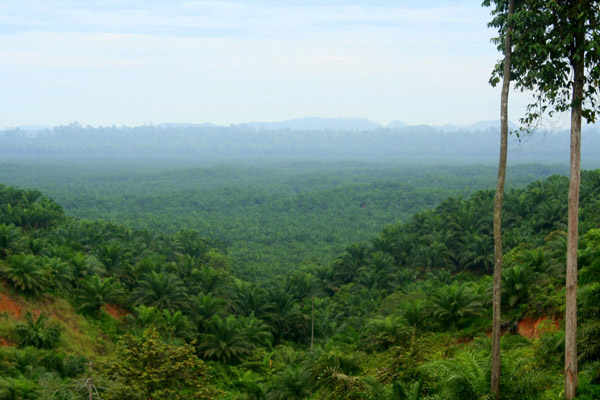 Palm oil plantation with forest in the background near Tabin Wildlife Reserve in Sabah, Malaysia