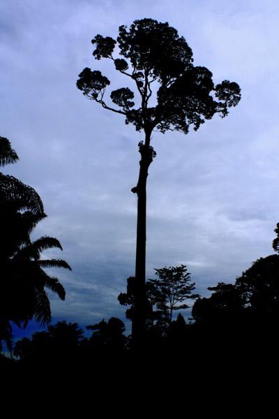 Tree at dusk in Tabin Wildlife Reserve, Sabah, Malaysia