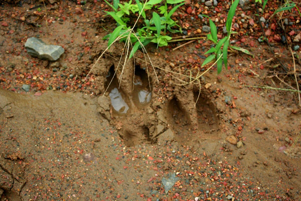 Footprint of the wild cattle, banteng (Bos javanicus), in Tabin Wildlife Reserve, Sabah, Malaysia