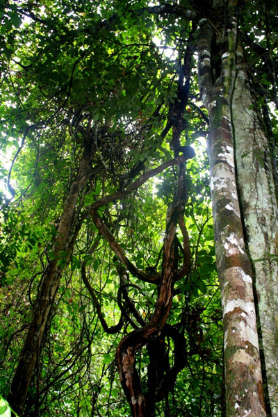 Forest in the Tabin Wildlife Reserve, Sabah, Malaysua