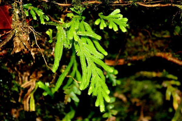 Small fern (unidentified species) in Tabin Wildlife Reserve, Sabah, Malaysia