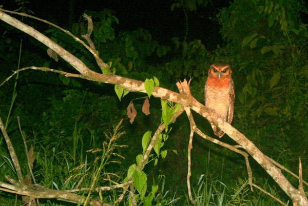 Brown wood owl (Strix leptogrammica) in Tabin Wildlife Reserve, Sabah, Malaysia