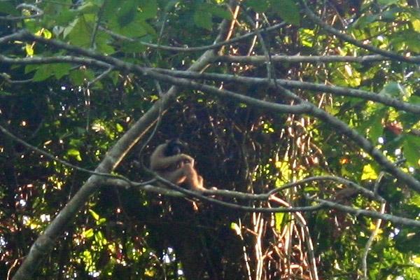 Bornean gibbon (Hylobates muelleri) in Tabin Wildlife Reserve, Sabah, Malaysia