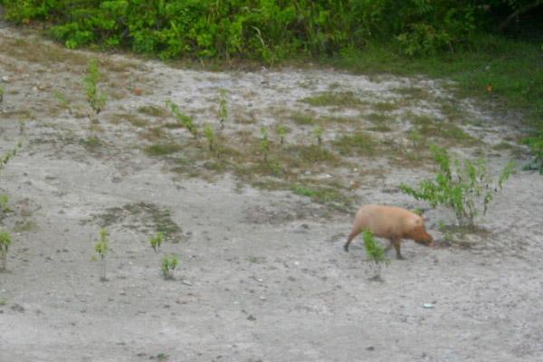 Bearded pig (Sus barbatus) at the mud volcano in Tabin Wildlife Reserve, Sabah, Malaysia