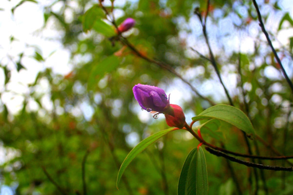 Flower (unidentified species) in Tabin Wildlife Reserve, Sabah, Malaysia
