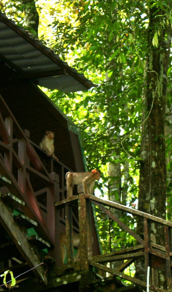 Macaques (unidentified species) visit lodge in Tabin Wildlife Reserve, Sabah, Malaysia