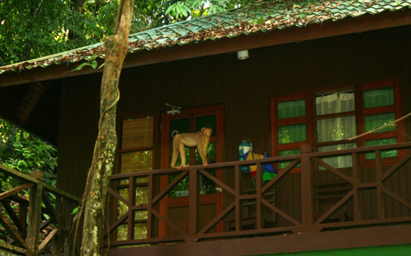 A (unidentified species) Macaque visit lodge in Tabin Wildlife Reserve, Sabah, Malaysia