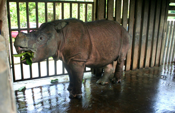 This Bornean rhino (Dicerorhinus sumatrensis harrissoni), Tam, is a captive individual representing hopes for ex-situ breeding of the Crtically Endangered subspecies of the Sumatran rhino (also Critically Endangered).