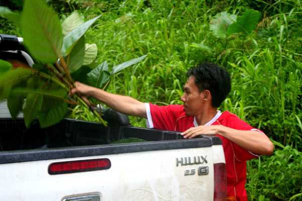 Local rangers cut leaves for Tam, a captive Bornean rhinoceros (Dicerorhinus sumatrensis harrissoni), who represents the hopes for eventual ex-situ breeding for the Critically Endangered subspecies of the Sumatran rhino (also Critically Endangered)