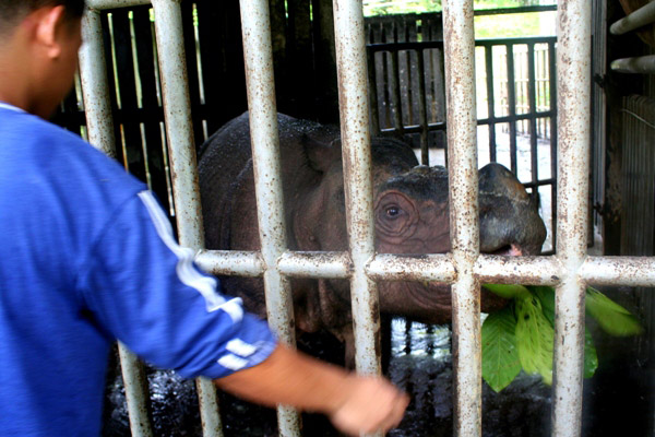Local rangers feed Tam, a captive Bornean rhinoceros (Dicerorhinus sumatrensis harrissoni), who represents the hopes for eventual ex-situ breeding for the Critically Endangered subspecies of the Sumatran rhino (also Critically Endangered)