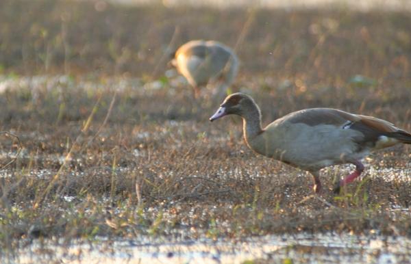 Egyptian goose (Alopochen aegyptiacus) in the Chobe National Park