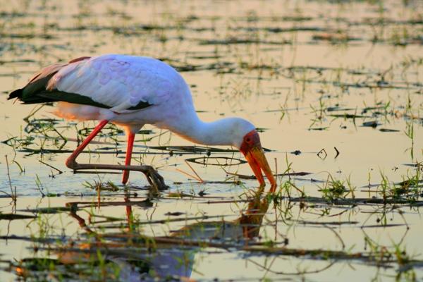 Yellow-billed stork (Mycteria ibis) foraging in Chobe National Park