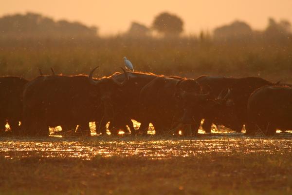 Herd of African buffalo (Syncerus caffeer) at sunset in Chobe Naitonal Park