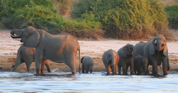 African elephant (Loxodonta africana) herd drinking in the Chobe River