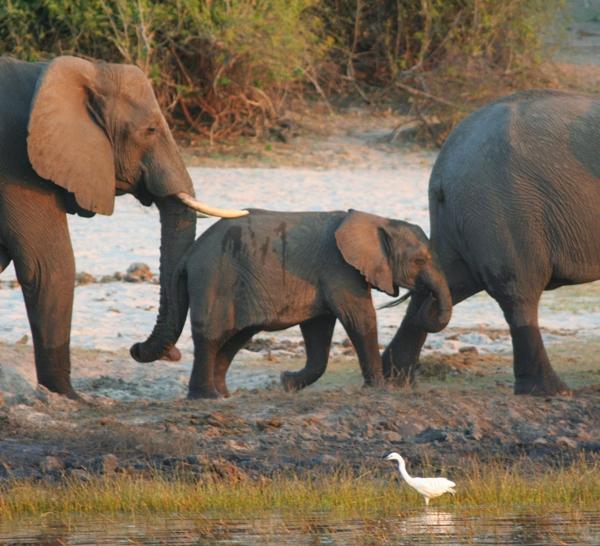 African elephant (Loxodonta africana) herd on the Chobe River