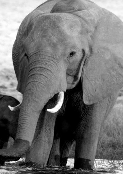 African elephant (Loxodonta africana) on the Chobe River