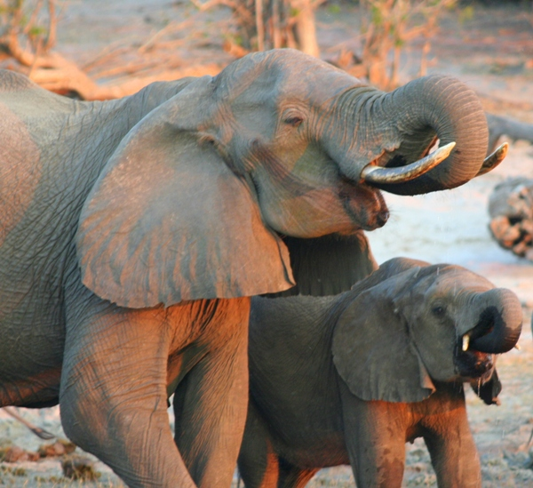African elephants (Loxodonta africana) drinking in the Chobe River