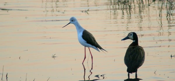 White-faced whistling duck (Dendrocygna viduata) and black-winged stilt (Himantopus himantopus) on the Chobe River