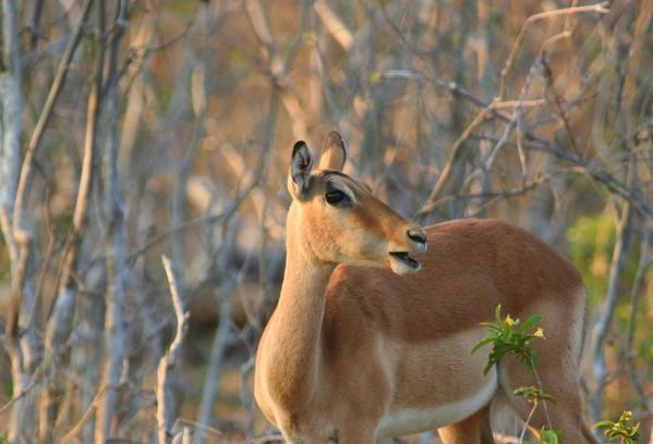 Female common impala (Aepyceros melampus melampus) at Chobe National Park
