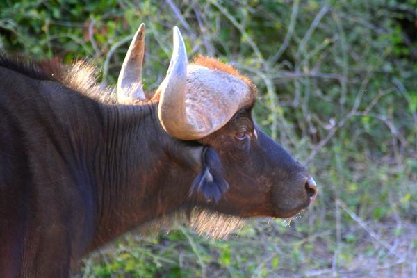 African buffalo (Syncerus caffeer) in Chobe Naitonal Park