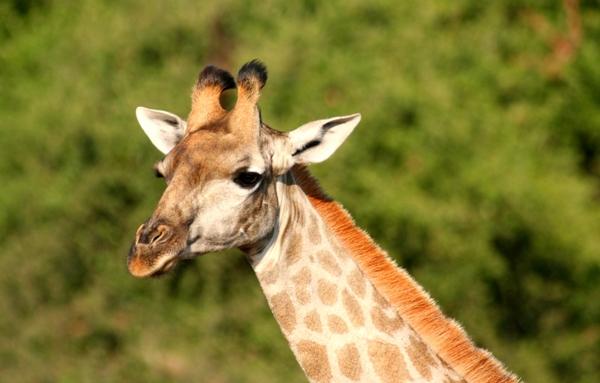 South African giraffe (Giraffa camelopardalis giraffa) in Chobe National Park