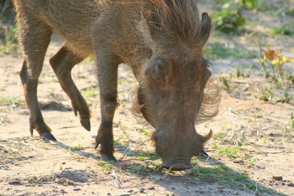 Southern warthog (Phacochoerus africanus sundevallii) in Chobe National Park